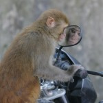 Affe vor Motorradspiegel von Min Bajra, Nepali Times