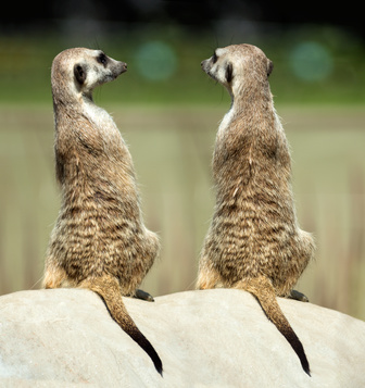 Two sitting meerkats on the stone